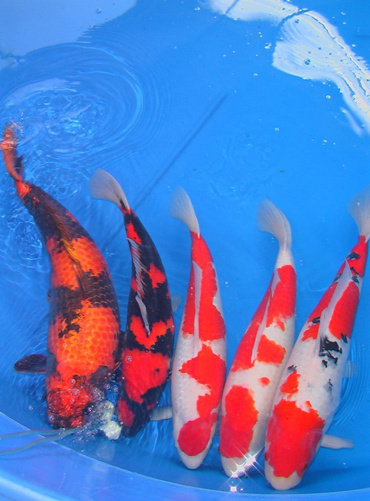 show koi for sale ausbonsai view topic australia 39 s biggest koi show