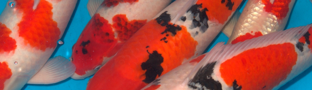 Koi Society of Australia